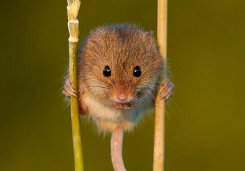 Мыши и солома